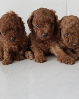Toy Poodle Mini Boy Yavrular